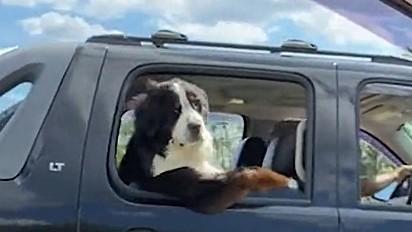 Cachorro é visto fazendo pose braço de caminhoneiro no trânsito.