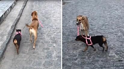 Cadelinha leva irmã canina para passear a pedido da dona.