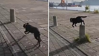 Cadela faz parkour na rua e impressiona por sua habilidade.