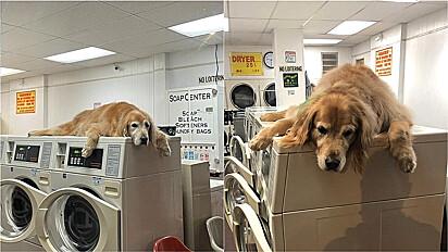 Golden retriever adora acompanhar dono até lavanderia para deitar-se em cima da máquina.