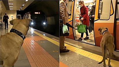 Cachorro de rua percorre mais de 30 km por dia ao se locomover de transporte público.