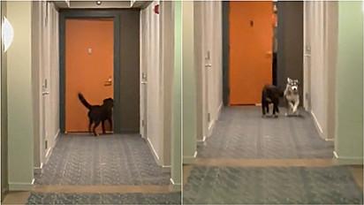 Cachorro vai até vizinho para chamar amiga canina para brincar.