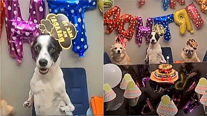 Cãozinho comemora aniversário com uma linda festa ao lado dos seus irmãos caninos.