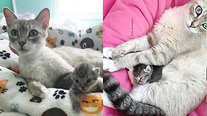 Após perder todos os seus filhotinhos em parto, gata adota filhote órfão.