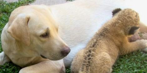 Amor de mãe: esta cadela criou um filhote de leão como se fosse seu