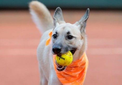 Cães gandulas são sucesso em torneios de tênis (VEJA OS VÍDEOS)