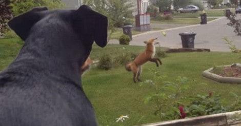 Cadela olha pela janela e vê raposa brincando com seu brinquedo favorito (veja o vídeo)