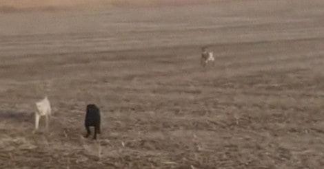 Cão corre para campo e volta acompanhado de duas criaturas (veja o vídeo)