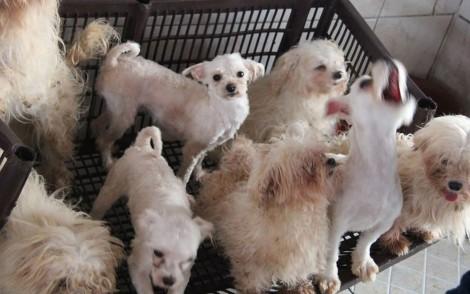 Mais de 100 cães maltês e yorkshire são resgatados de canil clandestino em SP