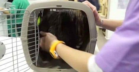 Cachorro passou sua vida numa caixa, agora observe quando o veterinário finalmente o libera