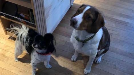 Cães sozinhos em casa e carentes ligam 16 vezes para polícia