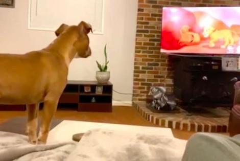Pit bull chora ao ver a cena mais triste de Rei Leão