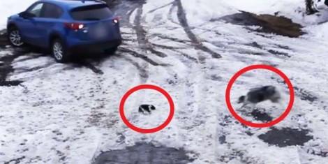 Vídeo incrível mostra cachorro salvando filhote prestes a ser atingido por carro