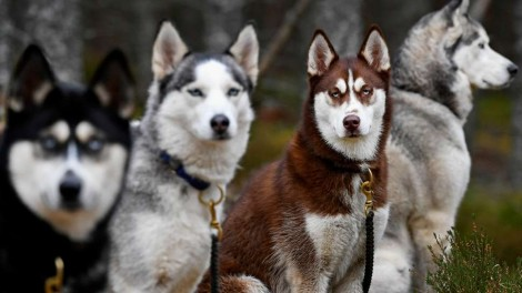 Game of Thrones: O sucesso dos cães parecidos com lobos após participação na série