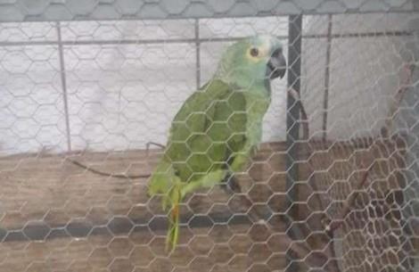Papagaio é apreendido após anunciar chegada de policiais em ponto de tráfico: 'Mamãe, Polícia!'