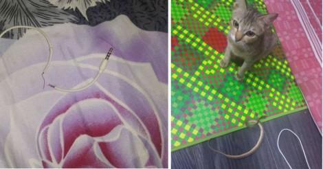 Gato destrói cabo de fone de ouvido e resolve ressarcir seu dono com uma cobra