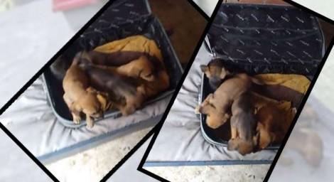 Rapaz encontra mala lacrada com quatro filhotes de cachorro em Cotia (SP) - veja o vídeo