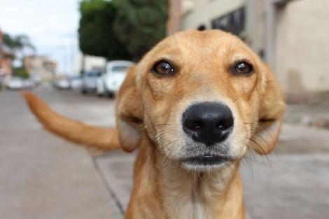 O cachorro vira-lata caramelo: o maior - e melhor! - símbolo canino do Brasil