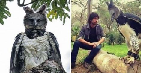 Esta é 'Harpia', uma águia tão grande que muitos pensam se tratar de uma pessoa fantasiada