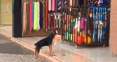 Vídeo: Cãozinho foge com brinquedo de pelúcia de loja de SP, depois volta devolver
