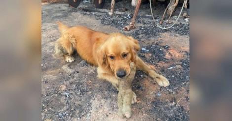 Cãozinho golden retriever que perdeu sua casa em incêndio na Austrália reencontra seu brinquedo favorito