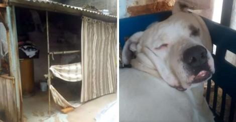 Dono ouve barulho de 'trator' no quintal de casa, mas era seu cão pit bull roncando (veja o vídeo)