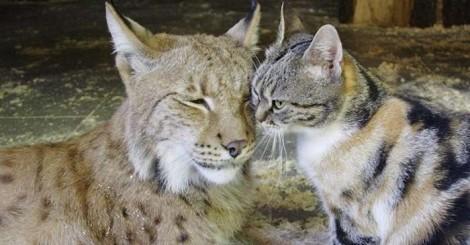 Gatinho entra escondido em zoológico e faz amizade com lince selvagem