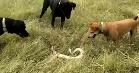 No instinto de salvar dono, cães atacam cobra venenosa e não se machucam
