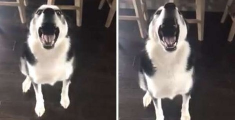 Em vídeo, cão husky bagunceiro não deixa sua dona dar sermão e a retruca