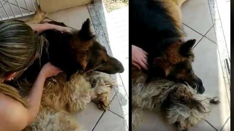 Pastor alemão se desespera ao achar que irmão canino anestesiado havia morrido (veja o vídeo)