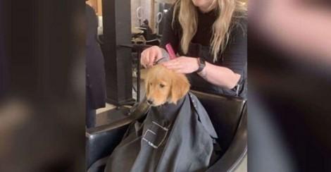 Em vídeo fofo, golden retriever tem dia de beleza e encanta clientes de salão