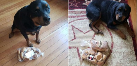 Rottweiler protege o que pensa ser o mais importante para a sua família: um pacote de pão