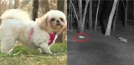Cachorro shih-tzu é atacado por coiote e família se surpreende ao encontrá-lo vivo (veja o vídeo)