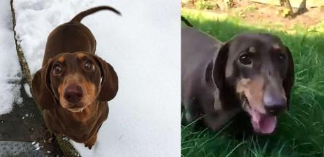 Cachorro dachshund fica tão feliz que donos estão em quarentena que machuca o rabo de tanto abanar