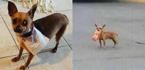 Sob quarentena, jovem coloca dinheiro e bilhete em coleira de cão chihuahua e o envia para supermercado - e deu certo!