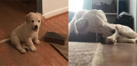 Cão golden retriever fez de tijolo seu melhor amigo e desde filhote nunca se separou dele