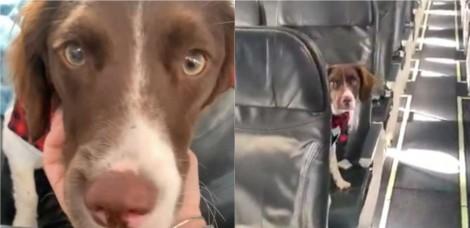 Em voo vazio, cadela brinca de esconde-esconde com aeromoça e bomba na internet