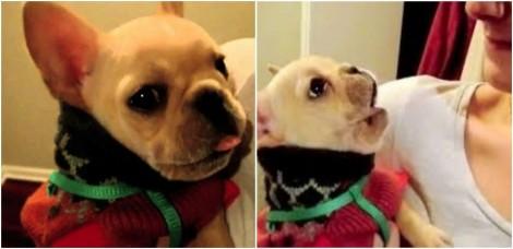 Dona diz 'Eu te Amo' e se surpreende quando cão buldogue francês diz o mesmo de volta