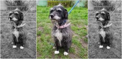Cadela desaparece após ser levada para passear por passeadoras voluntárias