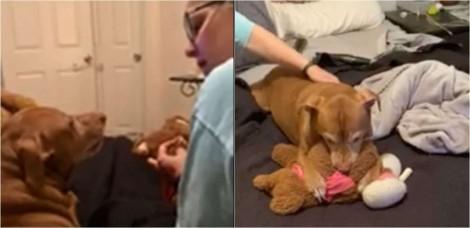 """Cãozinho fica todo preocupado enquanto mãe """"faz cirurgia"""" no seu ursinho de pelúcia favorito; assista"""