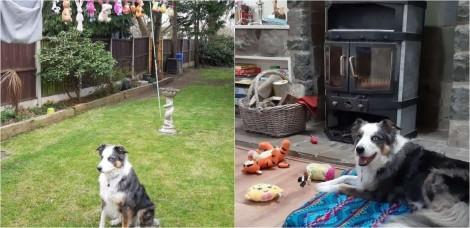 Cão pastor superprotetor se recusa a abandonar seus brinquedos enquanto eles secam no varal