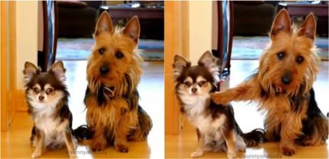Questionadas pela dona sobre quem fez cocô na cozinha, cadela culpa irmã ao apontar a pata para ela