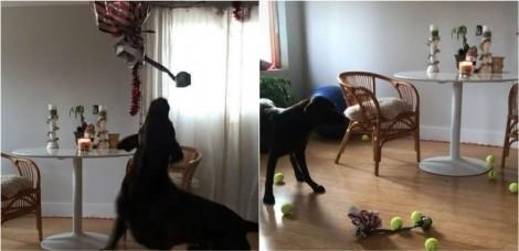 Donos filmam reação de cão labrador ao ganhar 'balão surpresa' recheado de bolas de tênis