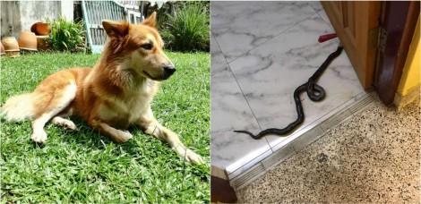 Para defender família, cão ataca cobra venenosa que entrou em casa na Malásia
