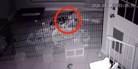 Filhote pastor australiano acorda dona de madrugada após encontrar um 'monstro' em sua cama; vídeo