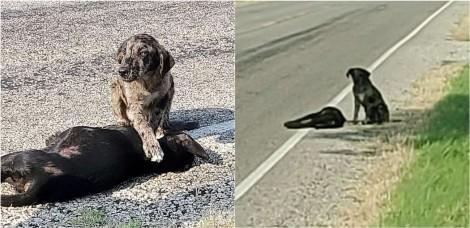 Cachorro vira-lata é visto protegendo com a pata o corpo de irmã sem vida em beira de estrada no Texas