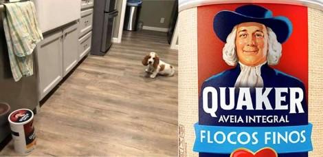 Cão basset hound rouba pano de prato da cozinha e para impedi-lo só o velhinho da aveia Quaker - assista
