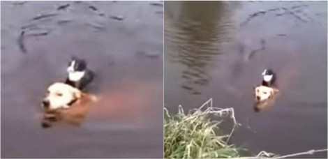 Cachorro pula em rio para salvar a vida de gatinho - confira o vídeo