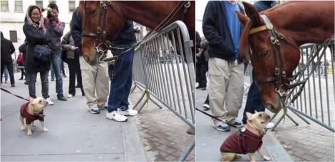 Amizade à primeira vista: Bulldog francês fica encantado com cavalo policial e os dois viram amigos; vídeo