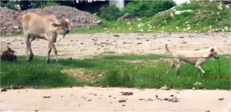 Cachorro guia vaca por uma corda e a leva para pastar em local com bastante vegetação; vídeo